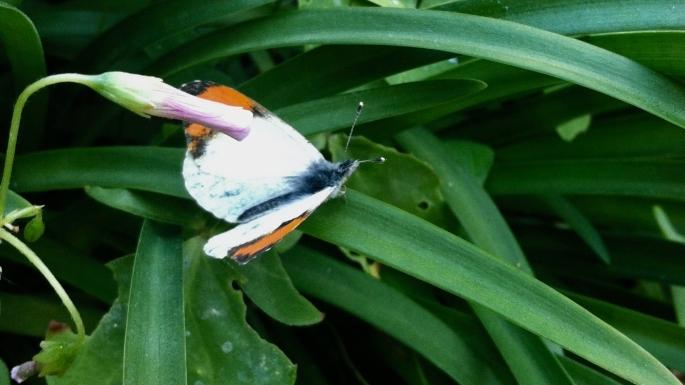 Pacific Orangetip